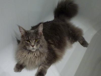 Cat-Grooming-Knightsbridge-Maple
