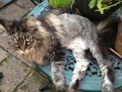 Mobile-cat-grooming-Kew-Tiggy