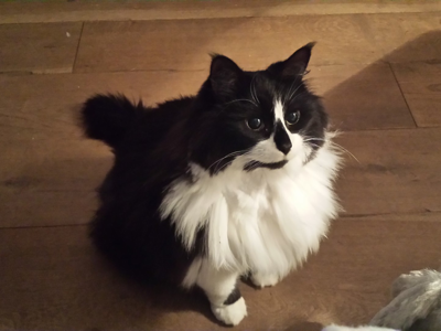 Mobile-cat-grooming-Richmond-Little-Wolf