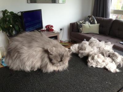 Mobile-cat-grooming-Tottenham-Prince