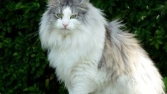 Large/X large Norwegian Forest