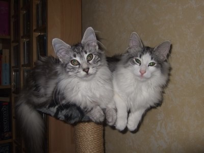 mobile-cat-groomer-west-london-PEDIGREE-CATS