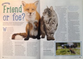 are foxes a threat to cats