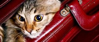 feline travel tips