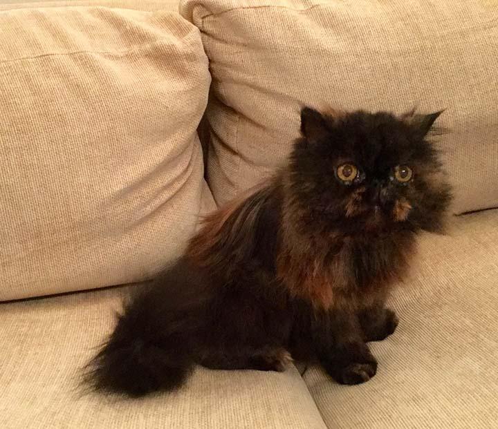 Clapham mobile cat groomer