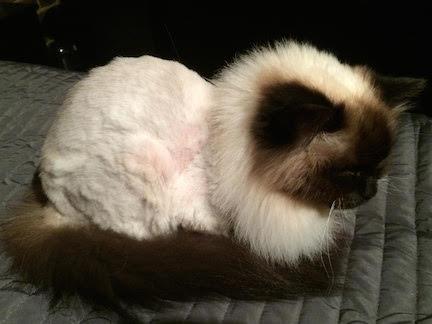 cat-groomer-Balham