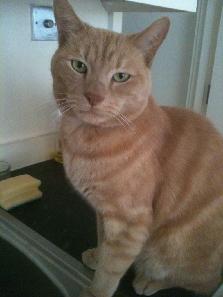 cat-boarder-West-London