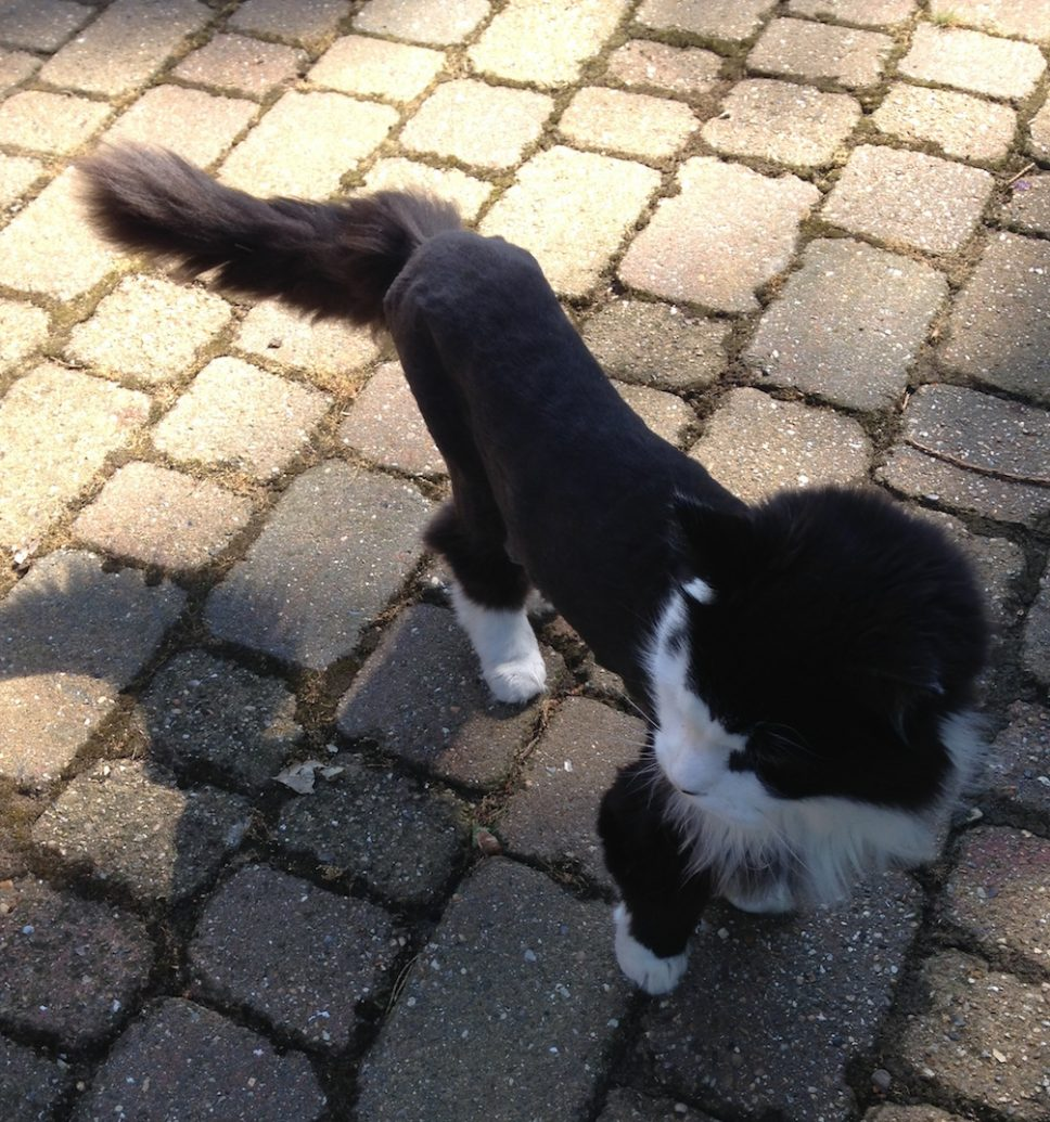 Wimbledon cat groomer