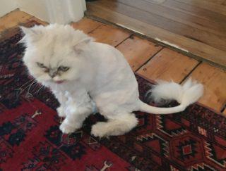 Hampstead Heath cat groomer